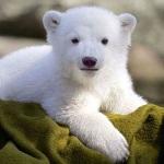 White Bear V3 limited